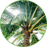 View of the sun-drenched crown of a coconut tree with green coconuts from below